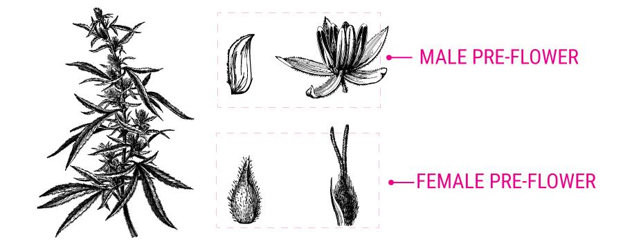 Cannabis pre-flor ilustración