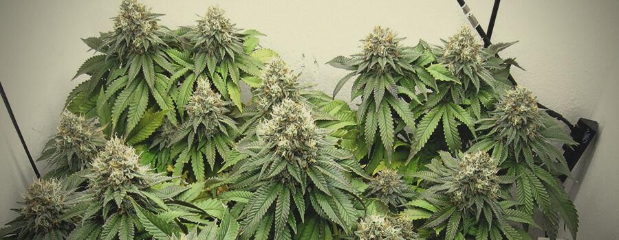 Euphoria CBD variedades de Marijuana