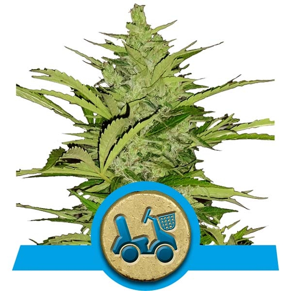 Fast Eddy Royal Queen Seeds CBD Fast Flowering