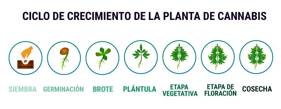 CICLO DE CRECIMIENTO DE LA PLANTA DE CANNABIS