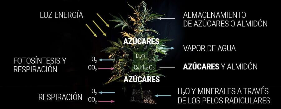 Cómo una planta de cannabis produce azúcar