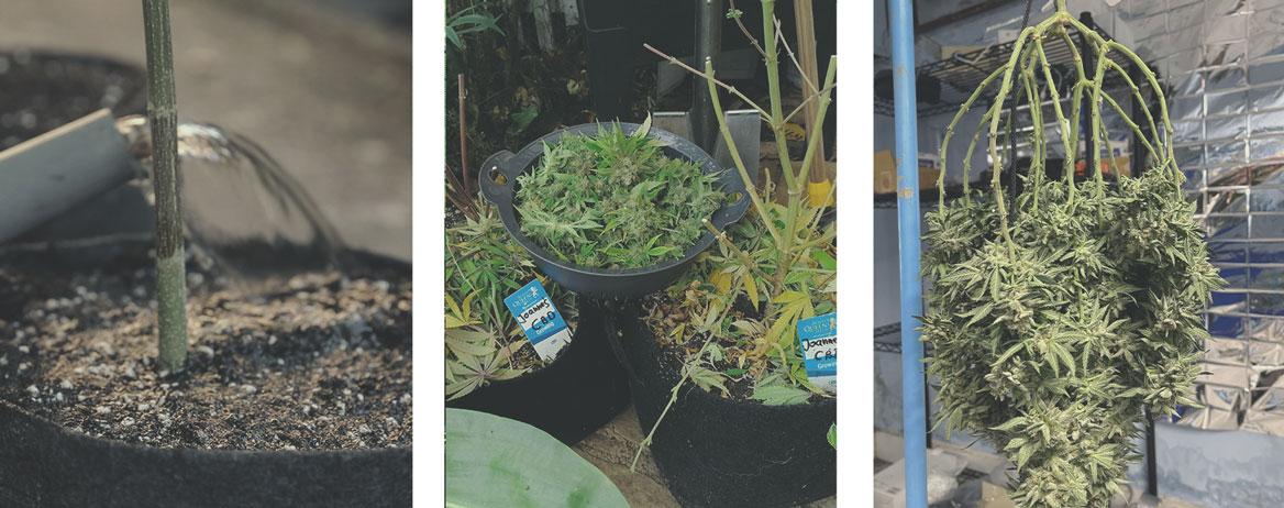 Cómo cultivar marihuana medicinal
