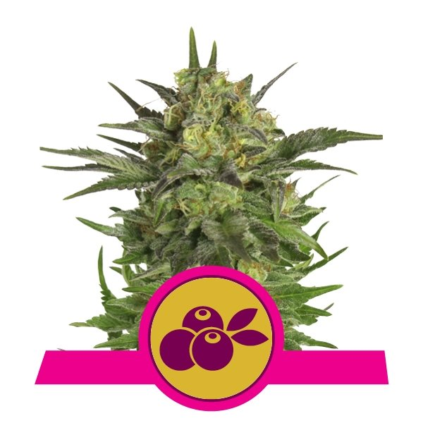 Haze Berry Feminized