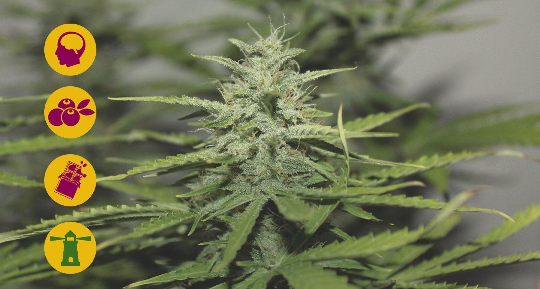 Las mejores variedades de marihuana Haze