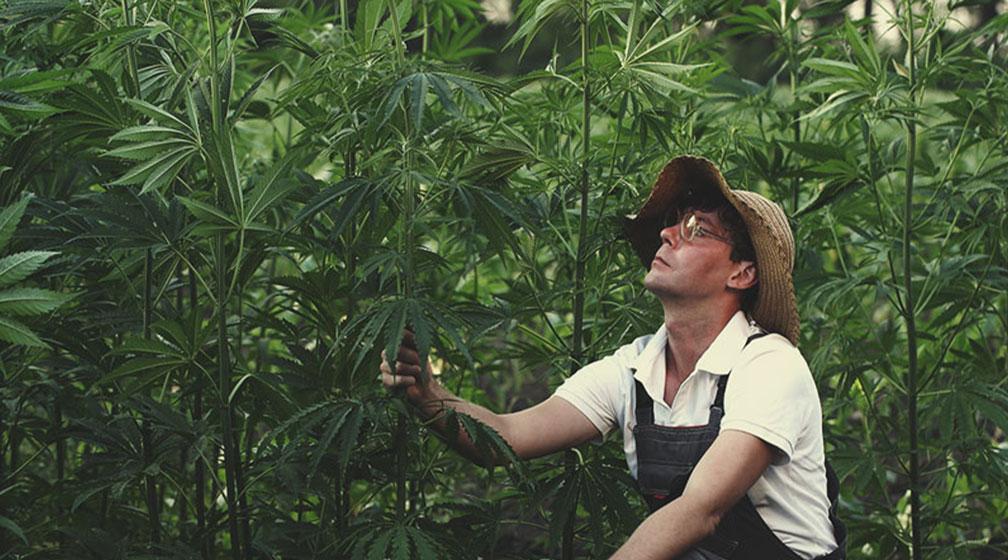 Estándares de calidad en el cultivo de cáñamo