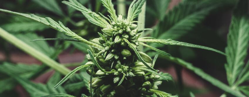 Aplicaciones más útiles de las plantas de cannabis masculinas