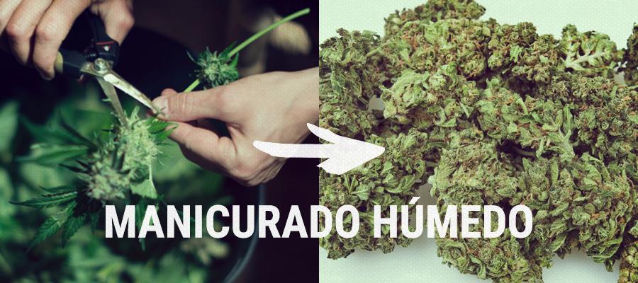manicurado húmedo previo al secado cannabis