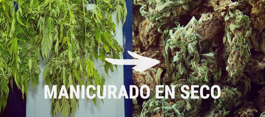 manicurado en seco cannabis