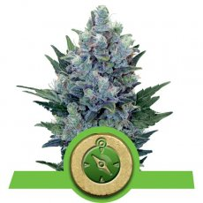Northern Light Auto Royal Queen Seeds Autoflorecientes Variedades Cepas