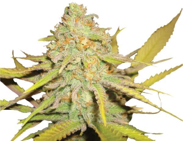 OG Kush planta Cannabis