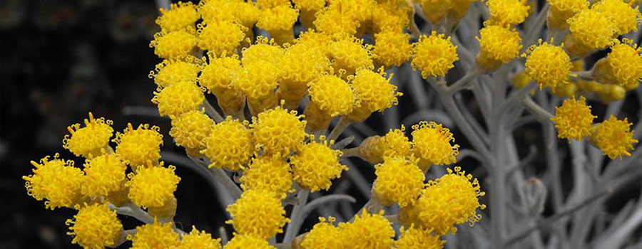 Other cannabinoids plants helichrysum umbraculigerum