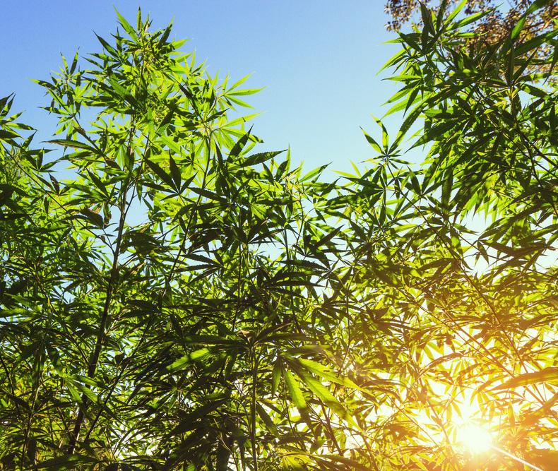 cultivo interior y exterior cannabis