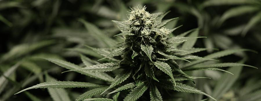 Semana 5 planta de cannabis casi lista floración
