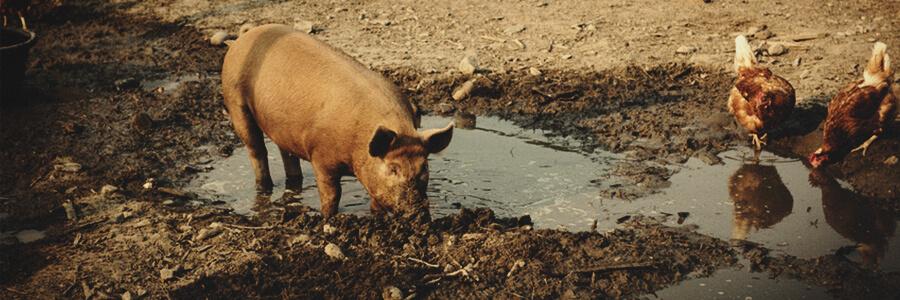 Compost organico de cerdo