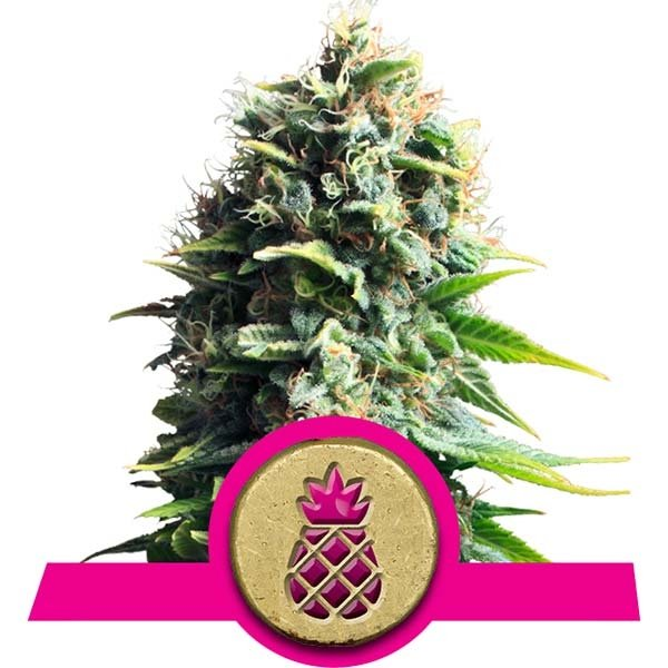 Pineapple Kush Royal Queen Seeds