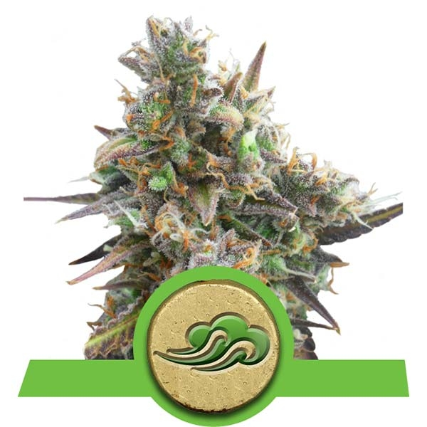 Royal Bluematic Auto Royal Queen Seeds Autoflorecientes Variedades Cepas