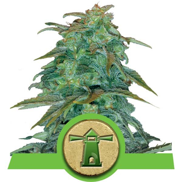 Royal Haze Auto Royal Queen Seeds Autoflorecientes Variedades Cepas