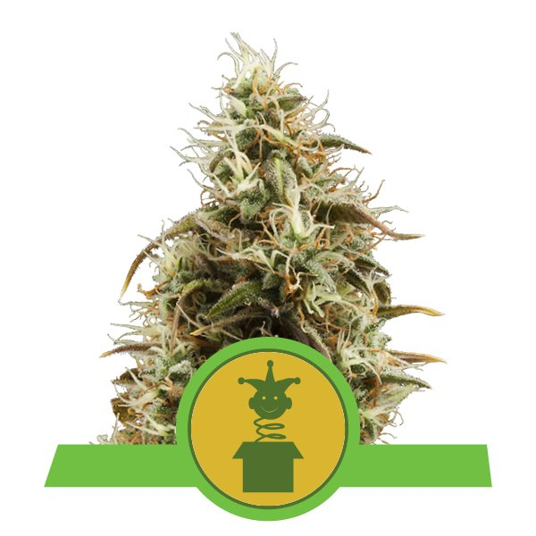 Royal Jack Automatic Royal Queen Seeds