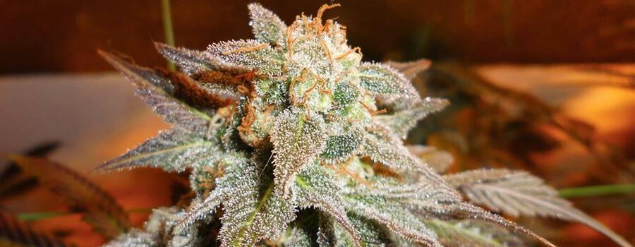 Royal Moby Cannabis Climas Cálidos
