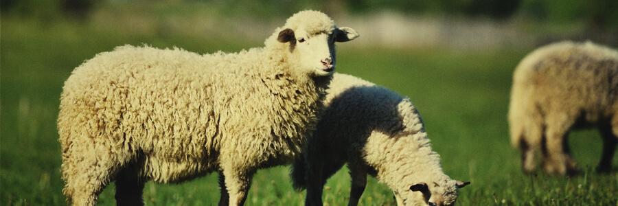 Compost orgánico de oveja