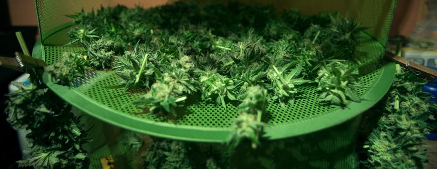 Cannabis de sobrealimentación