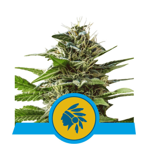 Tatanka Pure CBD Royal Queen Seeds