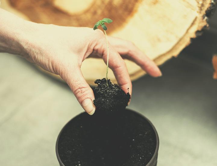 Cepas De Cannabis Autoflorecientes Para Cultivo Interior