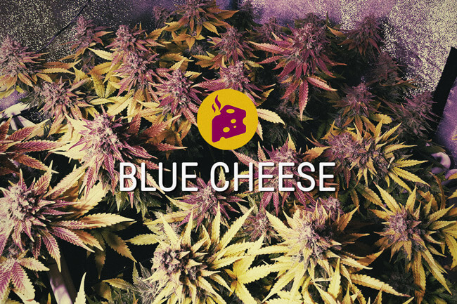 Blue Cheese: la cima de la exquisitez cannábica