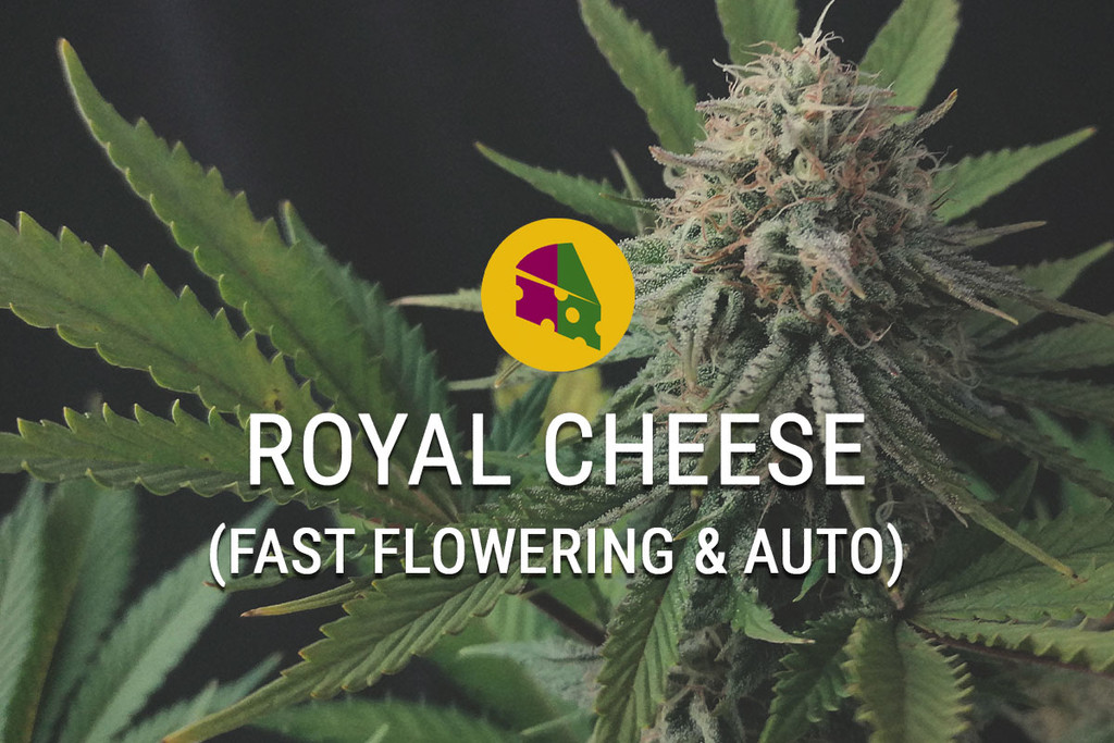 Royal Cheese Fast Flowering: Marihuana Cheese en muy poco tiempo