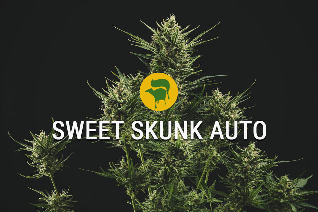 Semillas de Cannabis Sweet Skunk Automatic