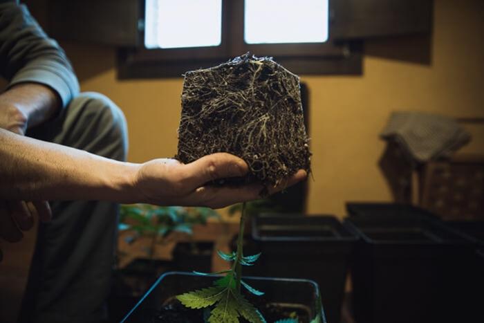 cómo y cuándo trasplantar tus plantas de marihuana - rqs blog