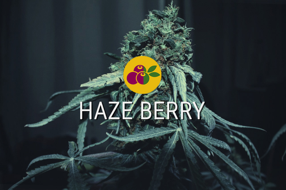 Haze Berry cannabis feminizada