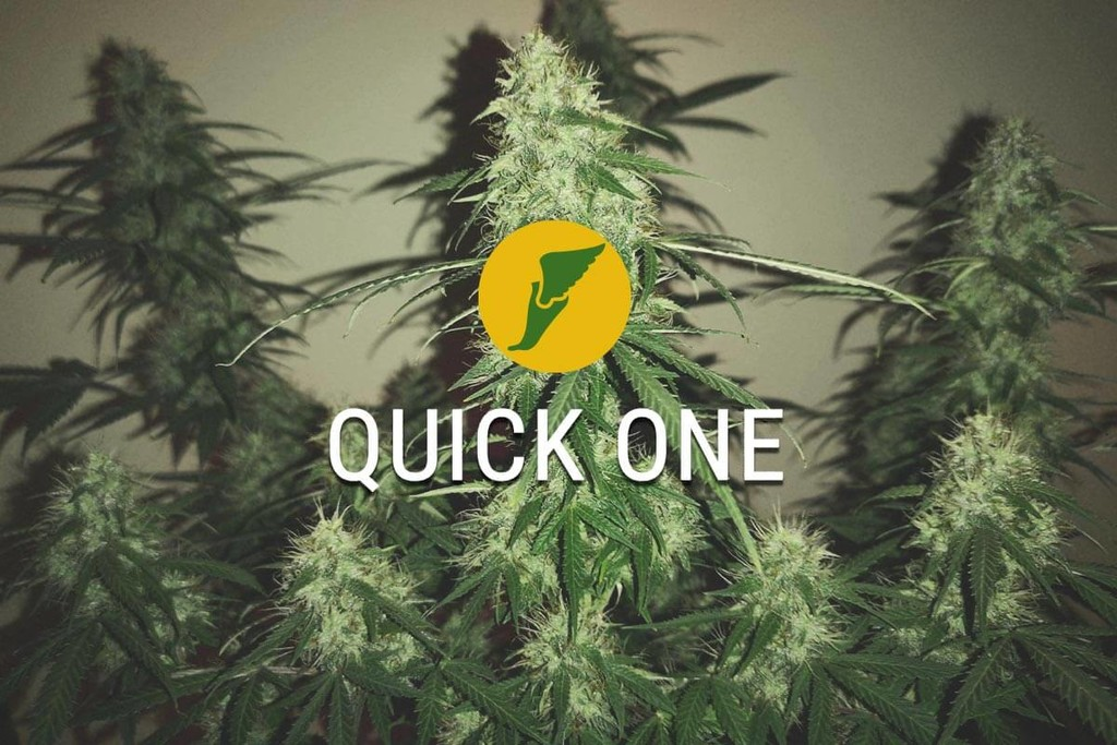 Quick One - Cannabis cosecha en tan sólo 2 meses!