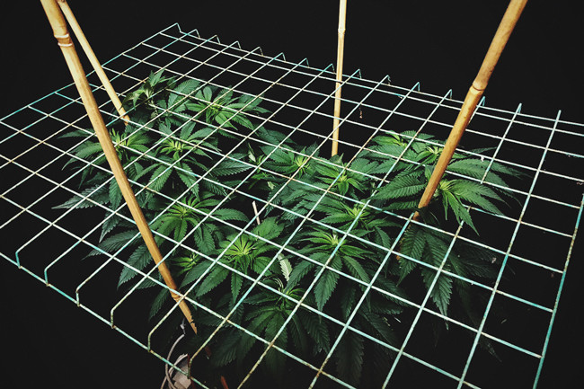 Cultivando cannabis con el SCROG (Screen of Green) método