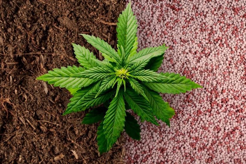 Fertilizantes para cultivar marihuana: orgánicos vs. sintéticos ...