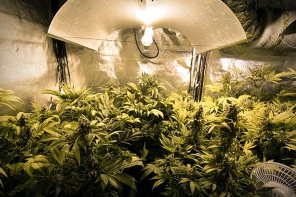 La guía sobre luz artificial para el cultivador de marihuana