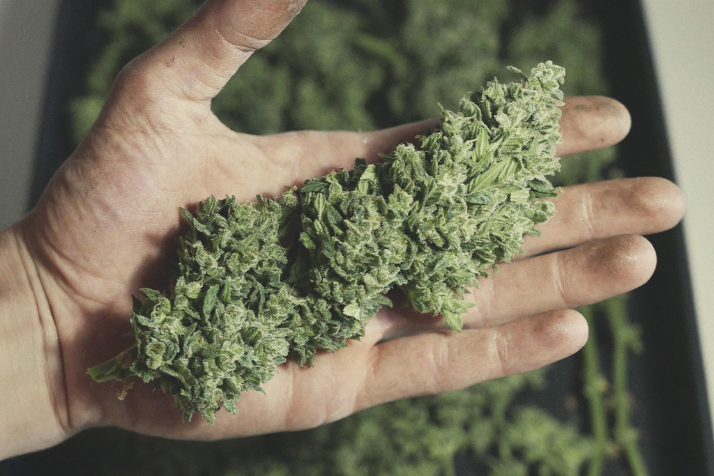 La marihuana para bajar de peso