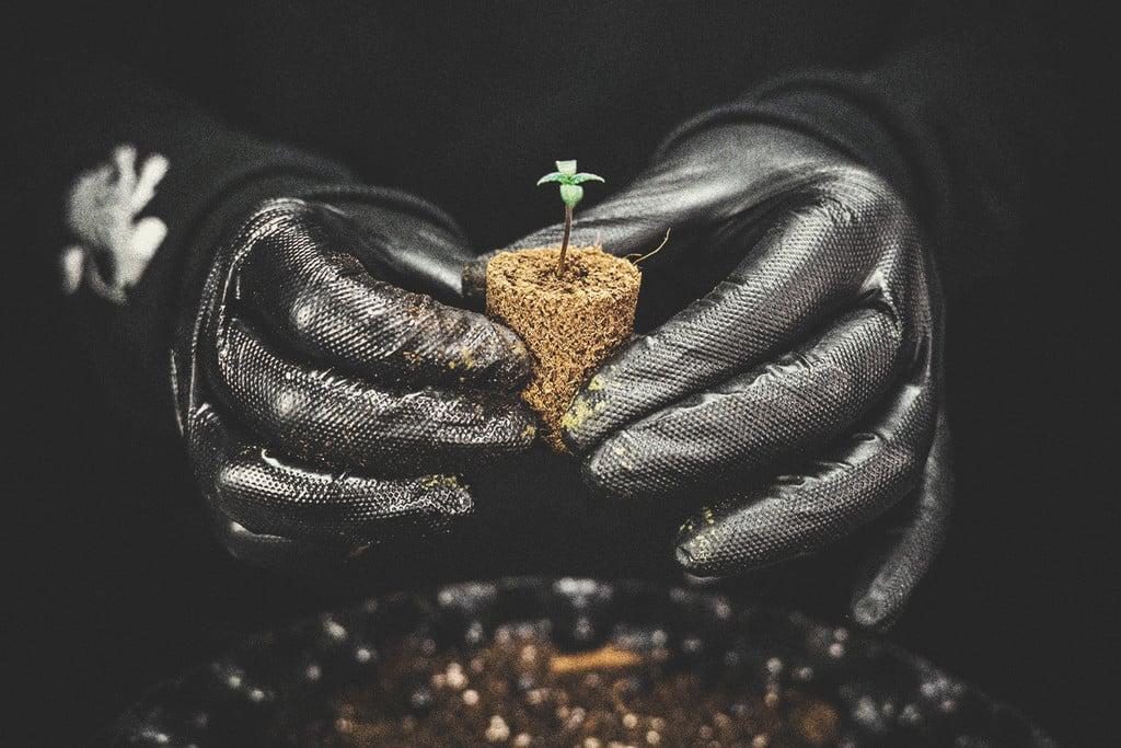 4804ea92dcf2 Cómo y cuándo trasplantar las plántulas de marihuana - RQS Blog