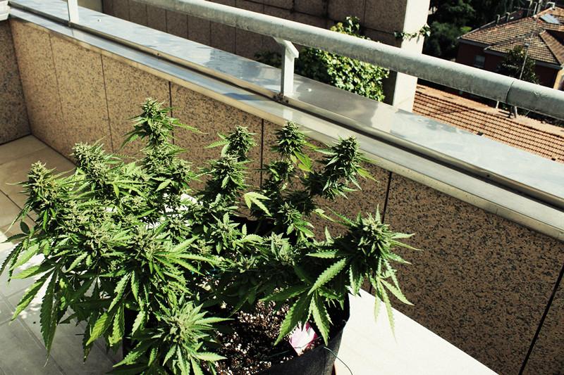 Cómo Cultivar La Mejor Marihuana En Un Balcón O Terraza