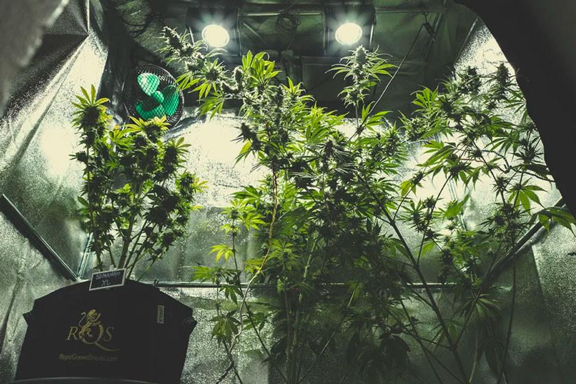Cultivo de cannabis en interior rqs blog - Cannabis interior ...